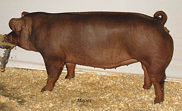 Порода свиней Дюрок.