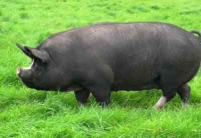 Корнуэльская порода свиней.