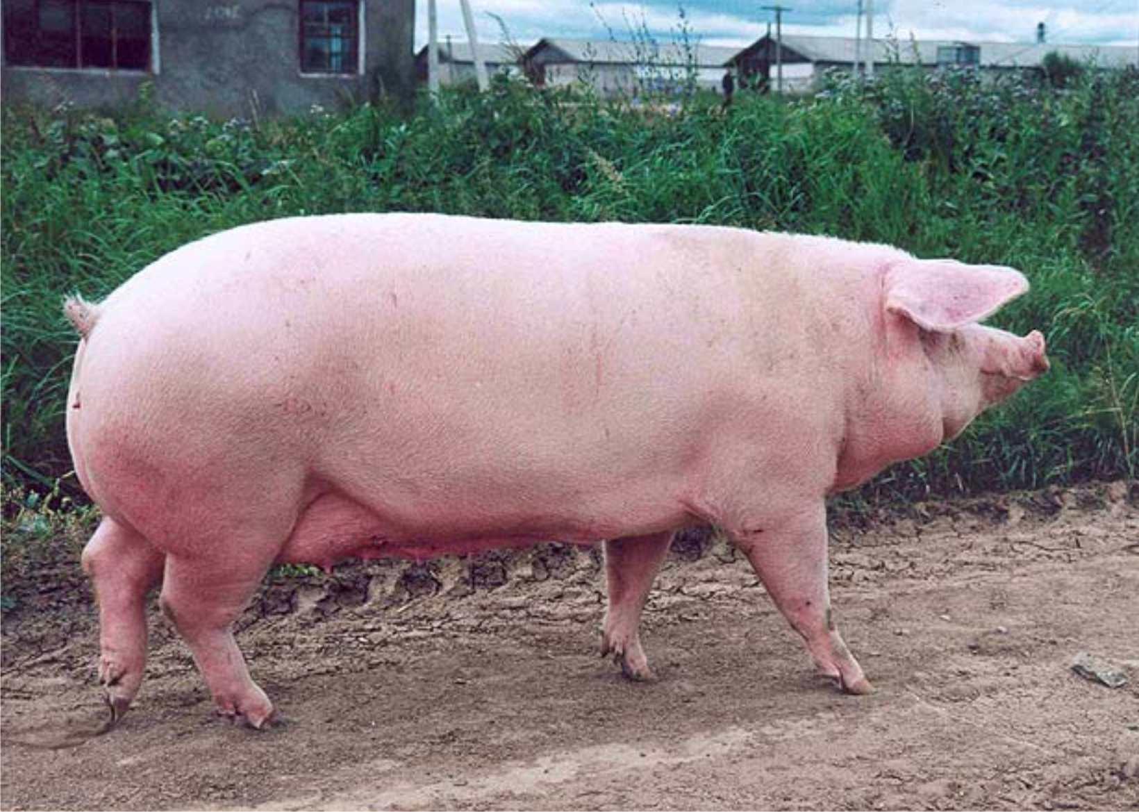 Порода свиней