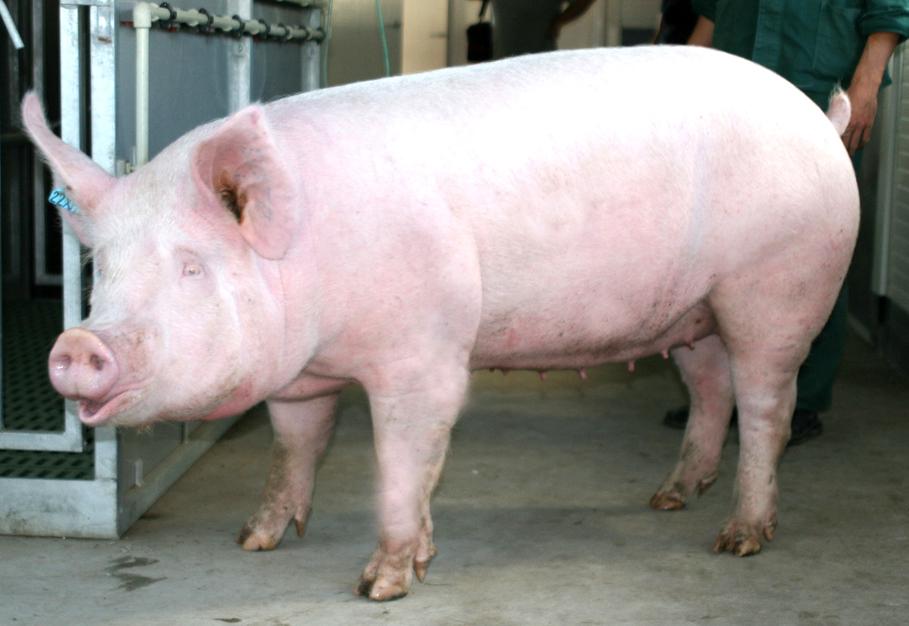 Порода свиней Латвийская белая.