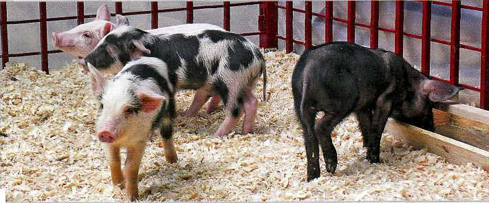 Миргородская порода свиней. Фото.