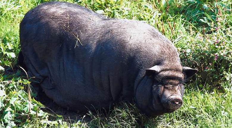 Вьетнамская вислобрюхая свинья.