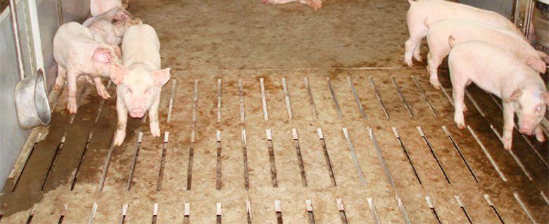 Щелевые полы в свинарнике.