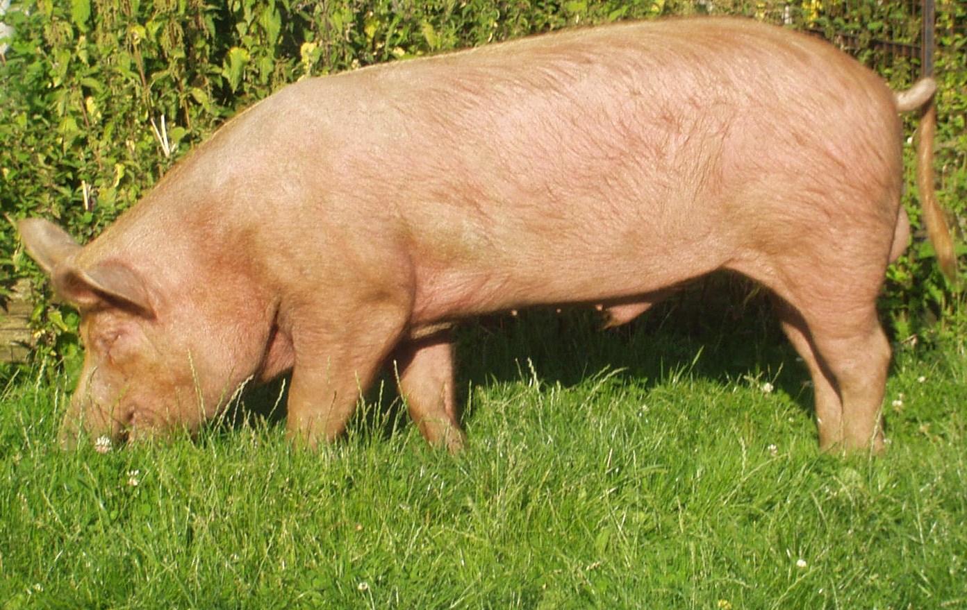 Порода свиней Темворс.